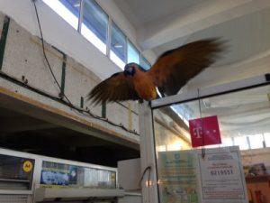 papagal b