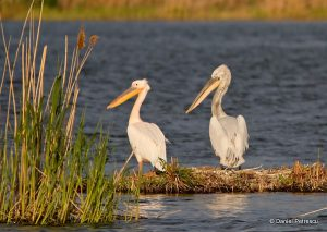 pelicanii - Daniel Petrescu